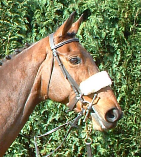 Sovereign Gale in a sheepskin noseband.