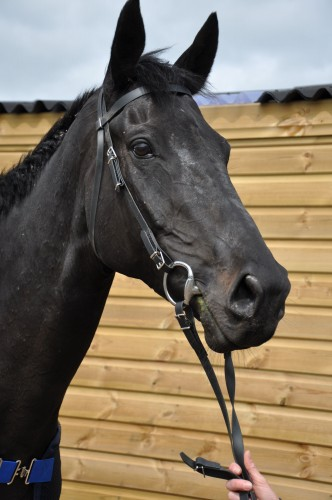Synthetic Exercise Bridle, no noseband included
